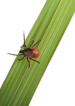 garrapata: Ilustraci�n de un Tick ejecutar a la v�ctima en la hoja Vectores