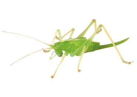 Illusration of a Grasshopper over white background Ilustração