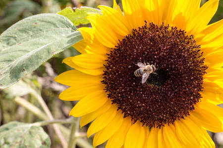 bee on flower: Sunflower with Bee Stock Photo