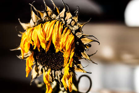 dried sunflower looking sad in daylight