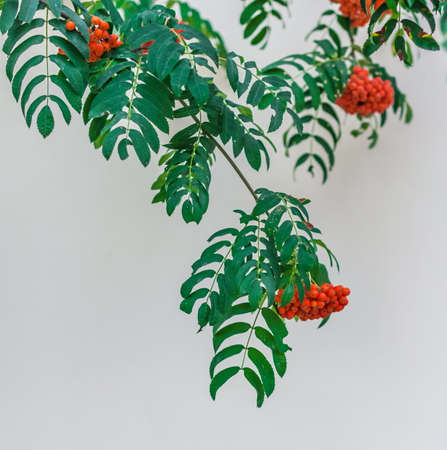 full bodied: Rowan branch on a background of white walls