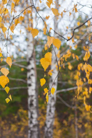 ural: Yellow birch leaves in the forest