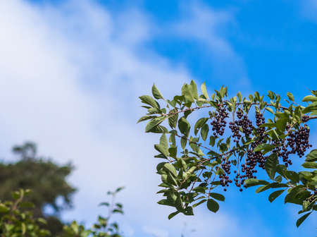 full bodied: a branch cherry on a background of blue sky with clouds