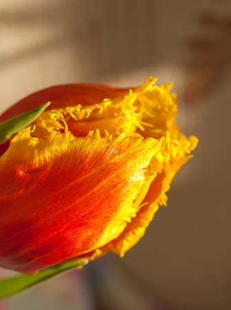full bodied: Red-yellow Tulips in the Sun