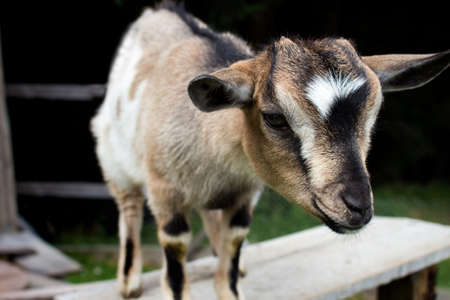 Close-up of a young goat