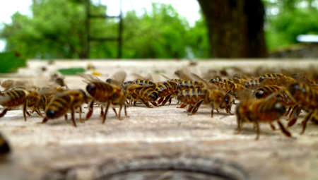 Several bees on old wood