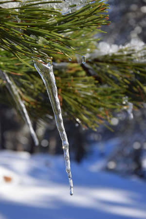 sopel lodu: Icicle Pinetree Zdjęcie Seryjne