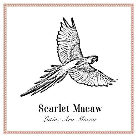 Scarlet Macaw Engraving Illustration. Tropical Bird. Ara Macao. Parrot.  イラスト・ベクター素材