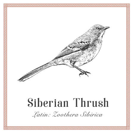 Siberian Thrush Engraving Illustration. Latin: Zoothera Sibirica. Wild Forest Bird.