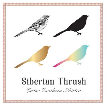 Set of Siberian Thrush Illustrations. Latin: Zoothera Sibirica. Wild Forest Bird. Illustration