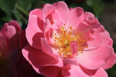 Pink flower with developing petals and yellow stamens in the bud center. 版權商用圖片