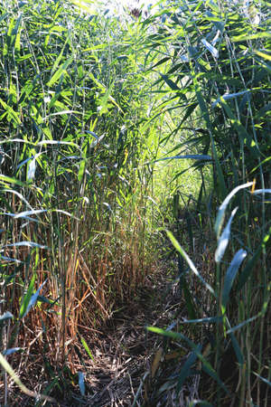 Trail in the reeds. Pathway in the cane. Thickets of bulrush.