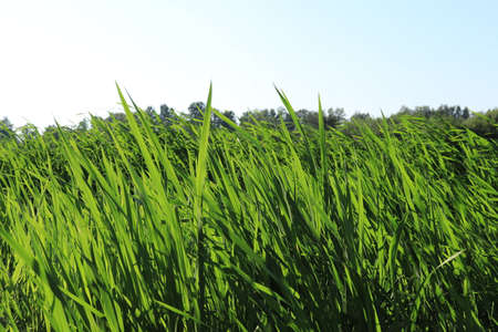 Green groove cane landscape. Lake picnic outdoor reed background. Stock Photo