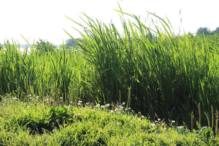 Green groove cane landscape. Lake picnic outdoor reed background. Summer grass glade. Stock Photo