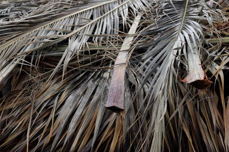 Dried Palm Tree Branch Leafs Texture. Dry Palm Leafs Background.