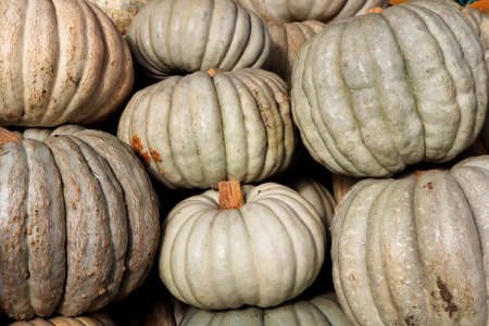 Many pumpkins texture. Gourds background. Squashes backdrop.