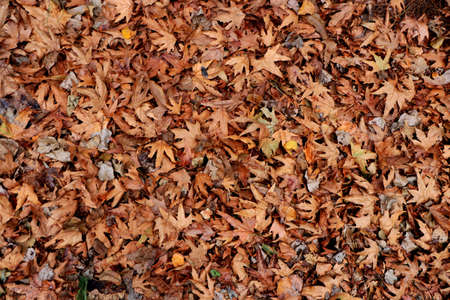 Dry leaves texture. Dried forest floor backdrop. Droughty background.