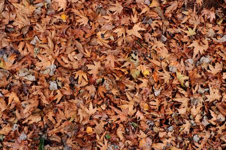 Textura de hojas secas. Telón de fondo de suelo de bosque seco. Fondo seco.