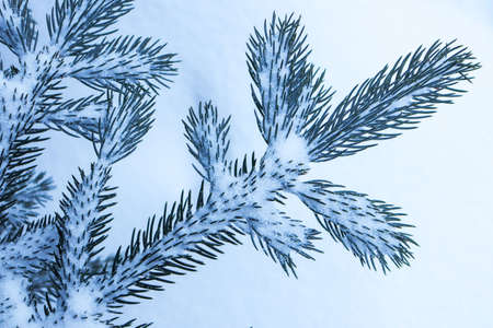 Snowy christmas tree brunch background. Blue tree brunches under snow. Stock Photo