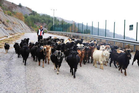 Flock of sheep comes down with a shepherd on the way 新聞圖片