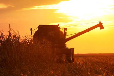 Der Mähdrescher erhält die Maisernte auf dem Maisfeld bei Sonnenuntergang an einem Sommerabend