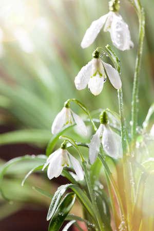 Spring Snowdrop Flowers with Water Drops in Spring Forest on Background of  Sun and Blurred Bokeh Lights. Zdjęcie Seryjne