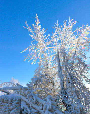 Hoarfrost in a tree against a bright blue sky in a cold winter s morning Stock Photo