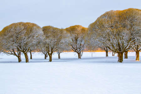 crack willow: Frosty brittle willows in a snowy park in the early morning light