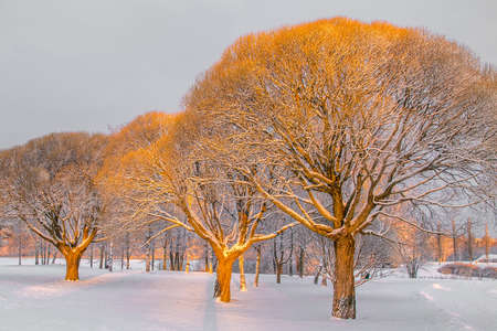 willows: Brittle willows in a warm morning light in a winter park Stock Photo