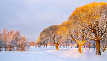 crack willow: Panoramic view of the brittle willows in a  warm morning light in a winter park