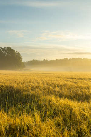 wheatfield: Beautiful golden wheatfield in a misty morning Stock Photo