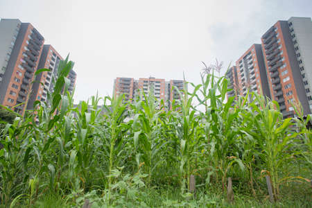 medellin, April 07 of 2018, corn cultivation in residential areas in the middle of the city