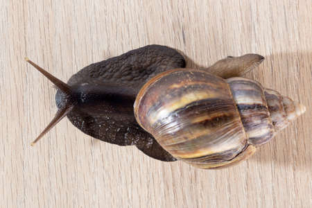 giant african snail sliding on the table Фото со стока