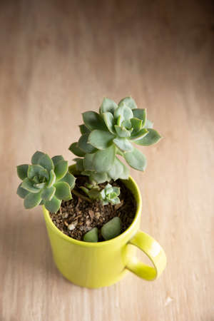 succulent plant in bowl on wooden background