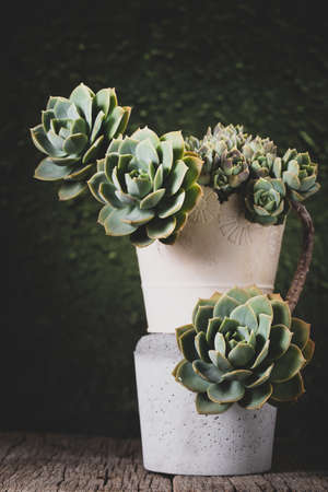 pot with beautiful succulent plant on wooden background
