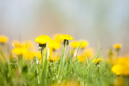 Yellow dandelions on the meadow on a green background