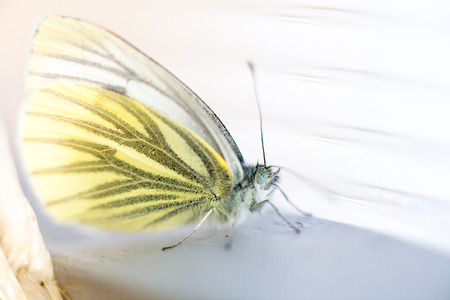 brassicae: Close-up image of large white butterfly sits on the surface Stock Photo