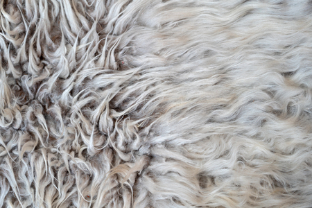 wool piled not combed, real of sheep wool texture background. the wool of Merino sheep, Stock Photo