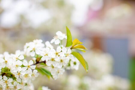 Branches of cherry blossoms with a soft accent on a delicate natural background. Beautiful floral spring abstract nature background. Copy space. Fisrt cherry blossoms bloom in the garden in spring. 免版税图像