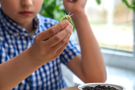 Close-up, a child's hand holds a sprouted pumpkin seed and is about to plant it in the ground, which is in a pot. Growing organic vegetables with your own hands. Vegetarianism. Stock fotó
