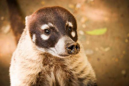 Coati animal wild cute face portrait