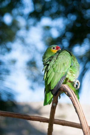periquito: Green parrot in the wild