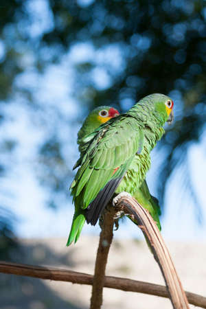 Green parrot in the wild