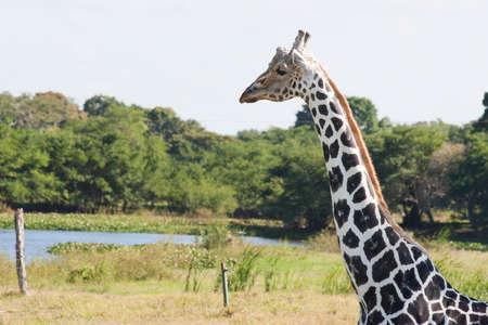 Giraffe,Yumka Park,Villahermosa,Tabasco,Mexico