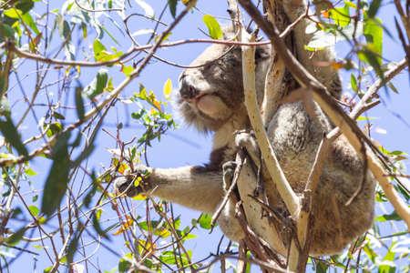 Koala eating eucalyptus in tree. Melbourne,Victoria, Australia.
