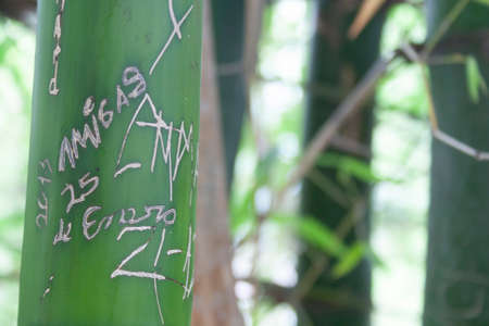 Detail of bamboo tree with some carved writings on its trunk. 版權商用圖片