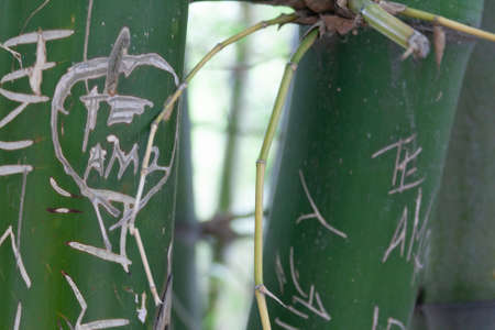 Detail of bamboo tree with some carved writings on its trunk.