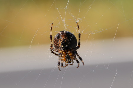 Spider  Webspider (Araneae) in spider web Zdjęcie Seryjne