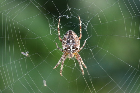 Spider  Webspider (Araneae) in spider web with prey Stock Photo