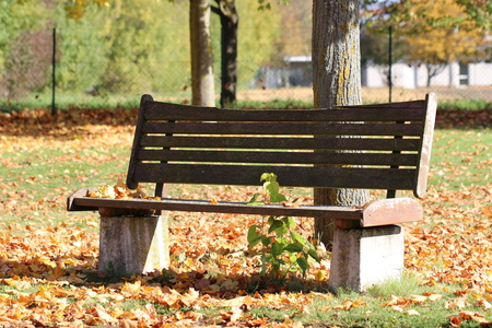 Wooden bench  park bench on a maple tree (Acer) in October